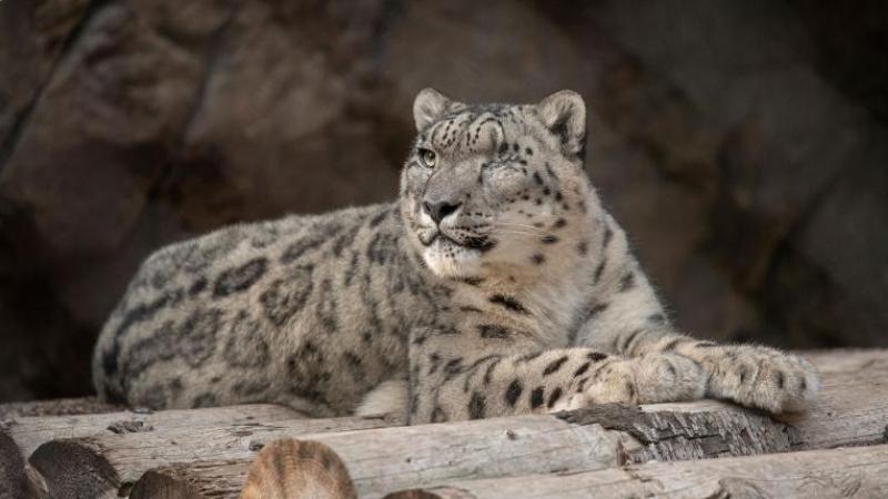 ABD'de leoparın koronavirüs testi pozitif çıktı