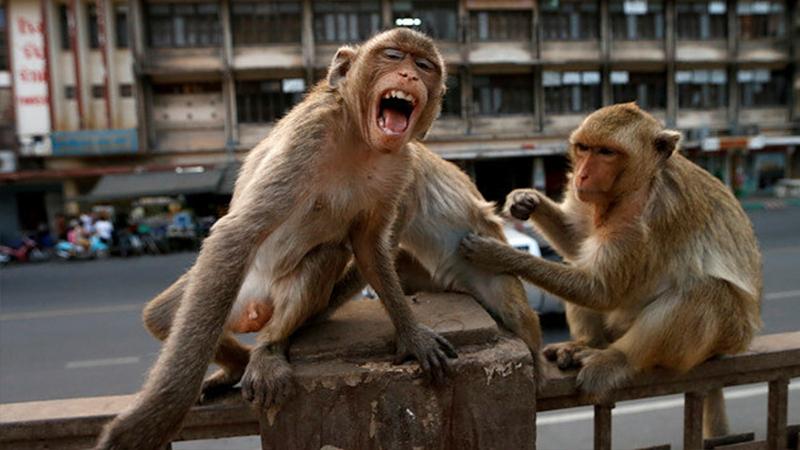 maymun,Aç kalan maymunlar evleri yağmaladı