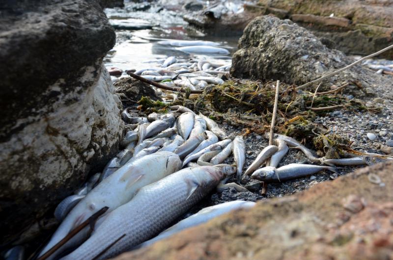 Avcılar'da binlerce ölü balık kıyıya vurdu