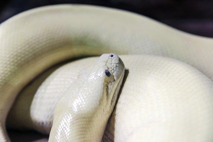 Avustralya'da tuvalette otururken, yılan tarafından cinsel organından ısırıldı