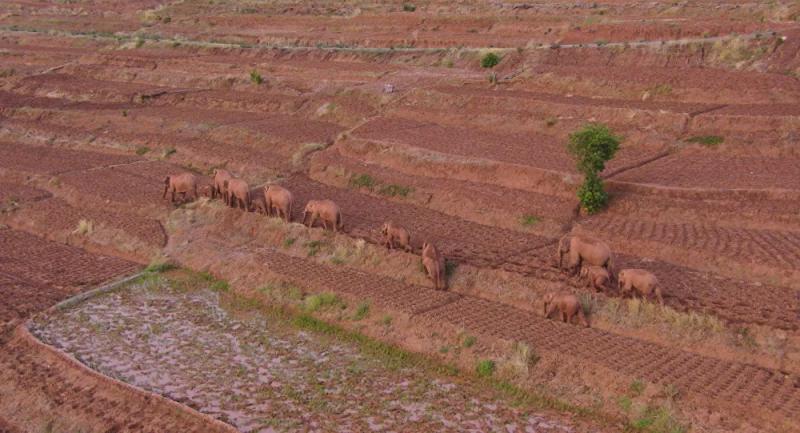 Çin'de 'hayatı koruma parkı'ndan kaçan 15 fil kurtuldu, 1'i hapsedildi