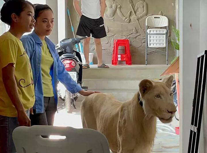 Kamboçya'da dişleri ve pençeleri sökülen aslan kurtarıldı