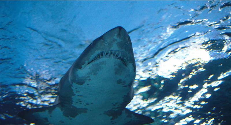 Köpekbalıklarının dinlenmek için 'sörf' yaptığı keşfedildi