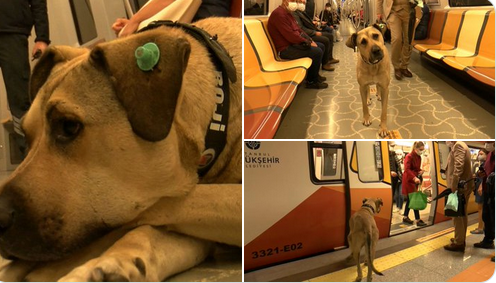 köpek,mikroçip,boji,Mikroçip takılan Boji İstanbul'da bir günde 29 durak gezdi: En çok tercih ettiği hat Kabataş-Bağcılar Tramvay Hattı