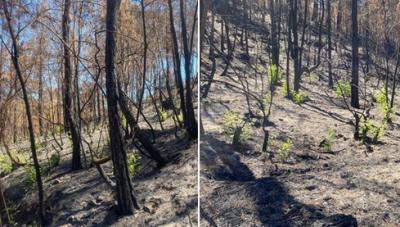 Antalya'da yanan ormanlar 'küllerinden doğuyor'