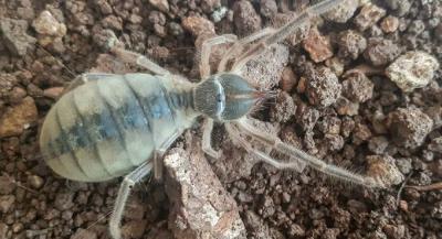 Hakkari'de yeni tür keşfedildi: Galeodes hakkariensis