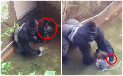 'Hayvanat bahçesi'nde öldürülen gorilin fotoğrafı NFT ile satışa çıkarılıyor