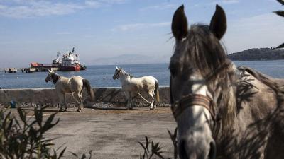 'İBB'nin satın aldığı atlardan bazıları hastalık nedeniyle öldü, 860 at sahiplendirildi'