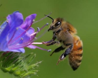 İtalya'da yangınlar nedeniyle milyonlarca bal arısı yok oldu