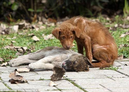 Yavru köpek ölen kardeşini yalnız bırakmadı!