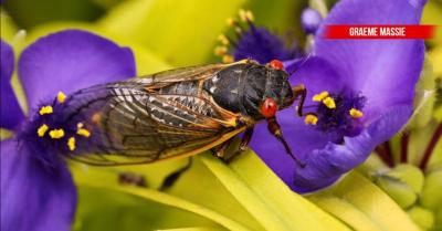 Psikedelik parazit, ağustosböceklerinin cinsel organlarını yok ediyor