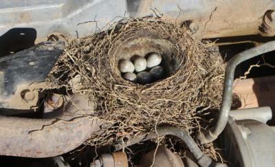Tokat'ta kuşun yuva yaptığı iş makinesi, yavrular çıkana kadar çalıştırılmayacak
