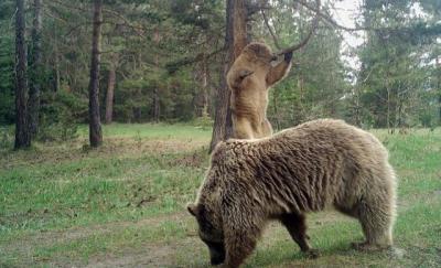 Turistlere 'ormanda ayı görünce bağırıp şarkı söyleyin' uyarısı