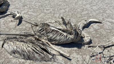 Tuz Gölü'nde binlerce flamingo yavrusu hayatını kaybetti!