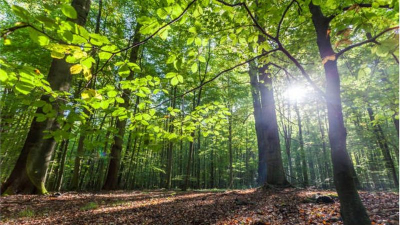 Yanan orman arazileri nasıl yeniden ağaçlandırılır?